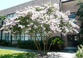 Image result for white crape myrtle