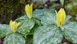 Image result for yellow trillium