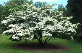 Image result for kousa dogwood tree