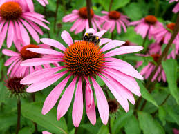 Image result for purple coneflower
