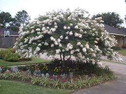 Image result for white crepe myrtle