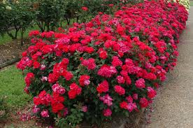 Image result for knockout roses