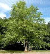 Image result for river birch
