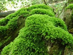 Image result for mosses