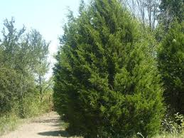 Image result for cedar trees