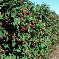 Image result for boysenberry plant