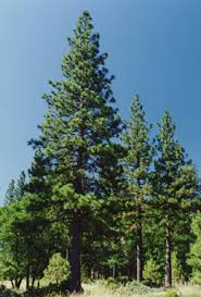 Image result for ponderosa pine tree