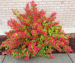 Image result for red weigela