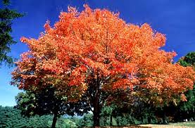 Image result for silver maple tree