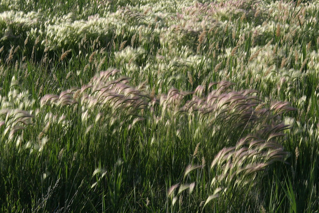 purple-top-grass.jpg