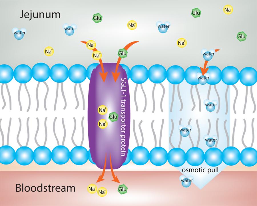sodium-glucose-cotrans.jpg