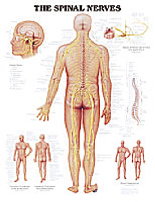 SPINAL NERVES CHART PSTR SZ LAMINATED