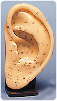 LARGE ACUPUNCTURE EAR MODEL