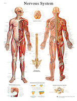 NERVOUS SYSTEM LAMINATED CHART