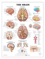 "BRAIN ANATOMICAL CHART 20"" W X 26"" H, LAMINATED"