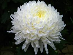 November birth flower chrysanthemum oak farms flower outlet inc if you know a loved one friend or boss with a november birthday come on into oak farms flower mightylinksfo Image collections