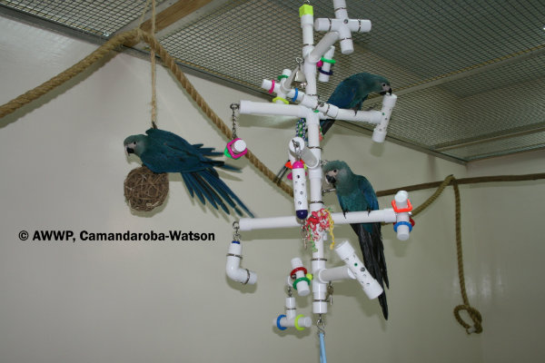 spix-s-macaw-chicks-with-kitchensink-birdtoy-03-hr.jpg