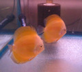 """Canary Yellow Discus Fish""  Breeder Pair"