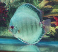 """German Brilliant Discus Fish"" (green hue) 3 inch"