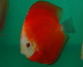 """Red Scarlet Discus Fish"" 2.25 inch"