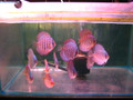 "SUPER SUMMER SALE ""DISCUS FISH "" 2 inch 2 Color Beginner 6 Pack Delivered"