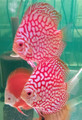 Super Red Flora Discus Fish Breeding Pair