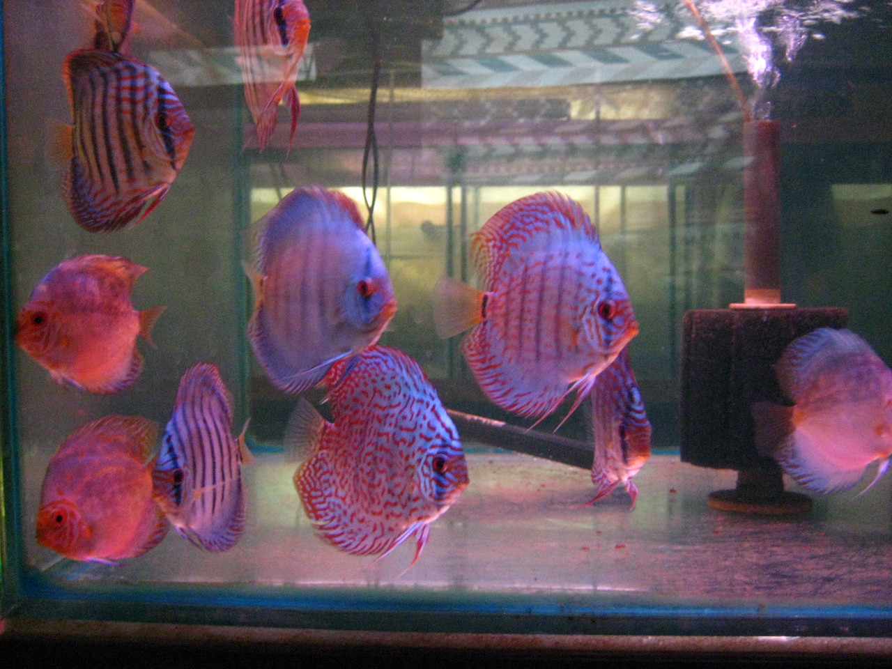 10 off discus fish sale 2 inch multi color 6 pack for Discus fish price