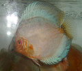 """Pearl Knight Discus Fish"" 3.5 inch"