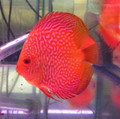 """Golden Red Snake Discus Fish"" 2 inch"