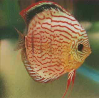 Golden red discus fish 2 inch mac 39 s discus for Discus fish price