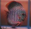 """""""Red Rio Purus Discus Fish"""" 2 inch"""