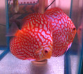 """Red Checkerboard Pigeon Discus Fish"" Breeder Pair"