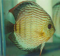 Tefe Green Discus Fish 2.25""