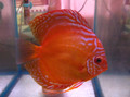 """Alenquer Red Discus Fish"" 2.25 inch"