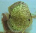 """Snake Skin Discus Fish 2.5"""""""