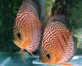 """Red Spotted Diamond Discus Fish"" 2.5 inch"