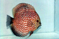 """Blood Red Tiger Pigeon Discus Fish"" 2 inch"