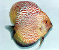 """Ruby Spotted Snake Discus Fish"" 2.25 inch"