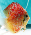 """Red Leopard Snake Skin Discus Fish"" 2.5 inch"