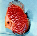 """Red Stone Discus Fish"" 2.25 inch"