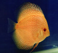 """Line Master Yellow Discus Fish"" 4 inch"