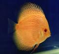 "Line Master Yellow Discus Fish 2.5"""