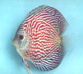 """Emperor Red Discus Fish"" 2 inch"
