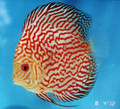 """Red Ribbon Pigeon Discus Fish"" 2 inch"