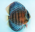 """Red Spotted Green Discus Fish F-2""  2.5 inch"