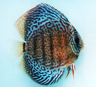 Red spotted green discus fish f 2 2 inch mac 39 s discus for Discus fish price