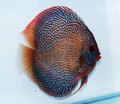 """King Cobra Discus Fish"" 2.25 inch"