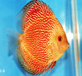 """Golden Red Ribbon Snake Discus Fish"" 2.5 inch"