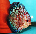 """Super Red Scorpion Discus Fish"" 2.25 inch"