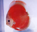 Super San Merah Discus Fish 2.5""